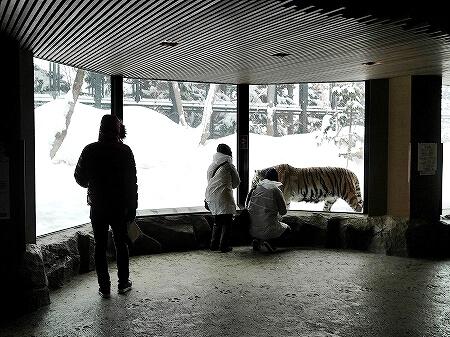 札幌円山動物園 北海道 冬 雪 トラ