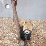 札幌円山動物園 北海道 冬 雪 レッサーパンダ