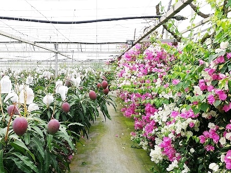 宮古島旅行記 ユートピアファーム 雨の日 観光 ブログ 農園 ブーゲンビレア アップルマンゴー