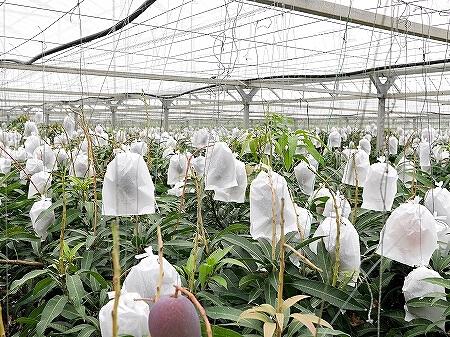 宮古島旅行記 ユートピアファーム 雨の日 観光 ブログ 農園 アップルマンゴー