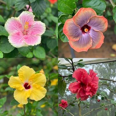 宮古島旅行記 ユートピアファーム 雨の日 観光 ブログ 農園 ハイビスカス